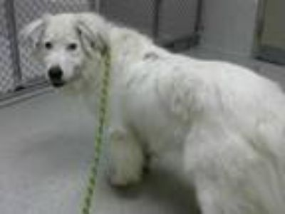 Adopt RILEY a White Border Collie / Great Pyrenees / Mixed dog in Statesville