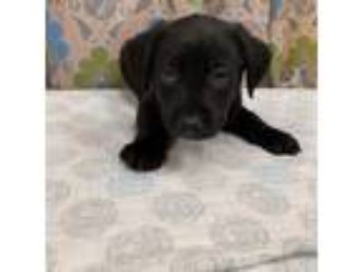 Adopt DALE a Black Labrador Retriever / American Pit Bull Terrier / Mixed dog in