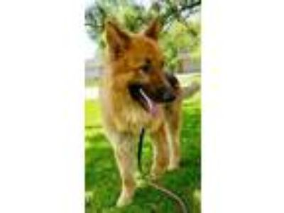 Adopt Sarge a German Shepherd Dog