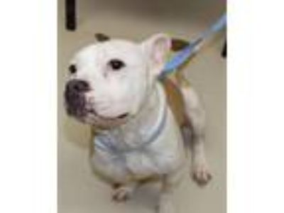 Adopt 29775 - Alice a Pit Bull Terrier