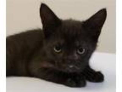 Adopt Black Beard a Domestic Short Hair