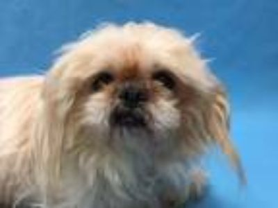 Adopt Savannah a Pekingese, Mixed Breed