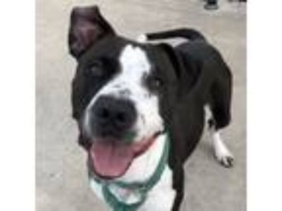 Adopt Trixie a Pit Bull Terrier