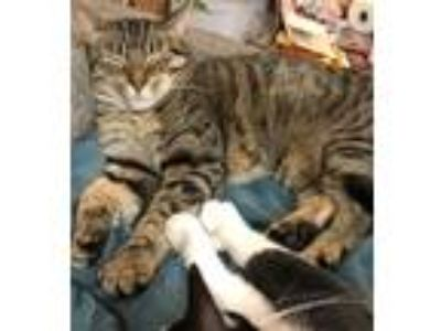 Adopt Lelli a Brown Tabby Domestic Shorthair (short coat) cat in Albany