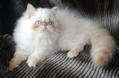 Flamepoint Himalayan Persian female kitten