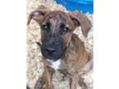 Adopt Macy a Brindle Hound (Unknown Type) / Mixed dog in Monroe, CT (25853537)