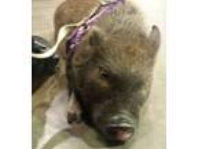 Adopt Arnold Ziffel a Pig (Farm) farm-type animal in Columbus, OH (18334701)