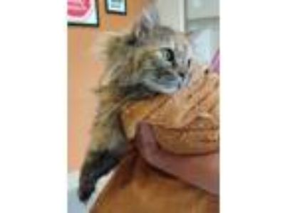 Adopt Lily Pie (norvell) a Maine Coon