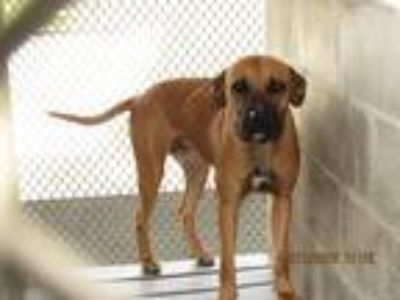 Adopt Buddy a Tan/Yellow/Fawn - with White Black Mouth Cur / Labrador Retriever