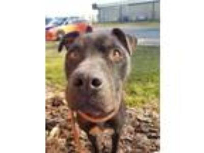 Adopt SEDGEWICK (Blue) a Black American Staffordshire Terrier / Mixed dog in