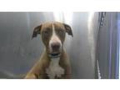 Adopt SPICE a Pit Bull Terrier