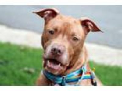 Adopt Gumshoe a Boxer, American Staffordshire Terrier