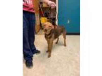 Adopt Daisy a Red/Golden/Orange/Chestnut Mixed Breed (Medium) / Mixed dog in