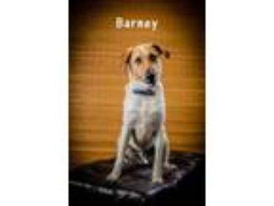Adopt Barney a White Collie / Mixed dog in North Myrtle Beach, SC (24721417)