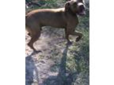 Adopt Blaize a Tan/Yellow/Fawn American Pit Bull Terrier / Mixed dog in Jesup