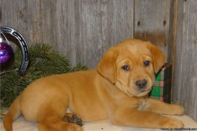 BLACK AND YELLOW LABRADOR (LABS) PUPPIES