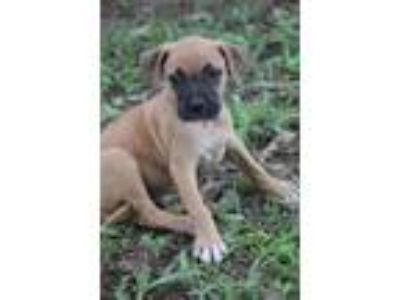 Adopt Adair a Boxer, Labrador Retriever