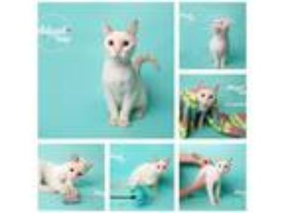 Adopt Alaska a Domestic Shorthair / Mixed (short coat) cat in Dickinson