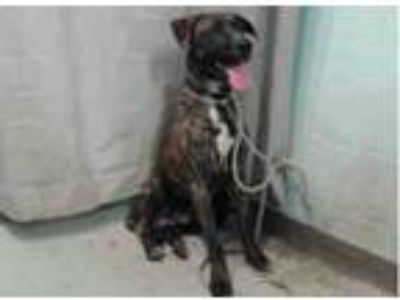Adopt A5155535 @ Lancaster Shelter a Brindle - with White Mastiff / Mixed dog in