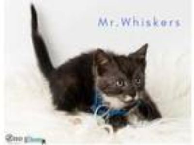 Adopt Mr. Whiskers a All Black Domestic Shorthair / Domestic Shorthair / Mixed