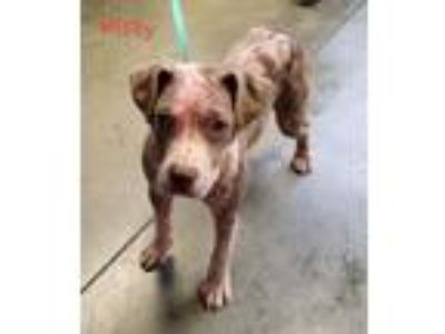 Adopt Misty a Pit Bull Terrier