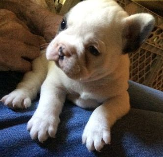 French Bulldog PUPPY FOR SALE ADN-82403 - SCARLETTS FRENCH BULLDOGS