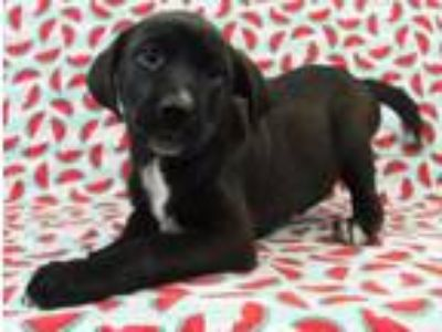 Adopt Lily a Labrador Retriever, English Springer Spaniel