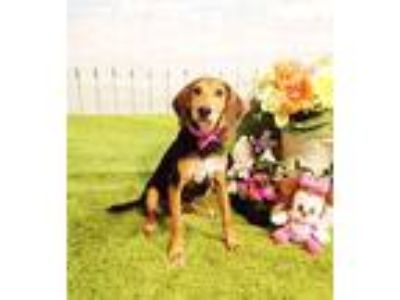 Adopt Cerca a Black - with Tan, Yellow or Fawn Hound (Unknown Type) / Mixed dog