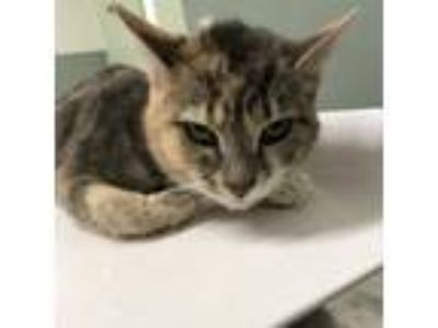 Adopt Whittle One a Domestic Short Hair