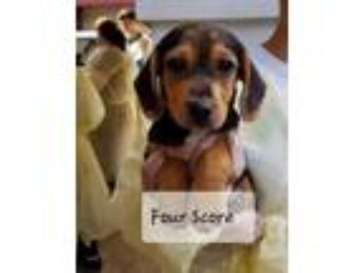 Adopt Four Score a Brown/Chocolate - with Black Beagle dog in MCLEAN