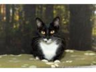 Adopt Scarlett a Domestic Medium Hair