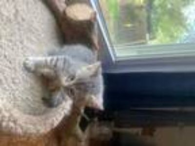 Adopt GRACIE a Gray, Blue or Silver Tabby Domestic Shorthair / Mixed (short