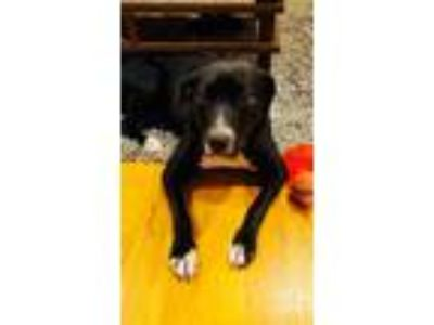 Adopt Sophia a Black - with White Labrador Retriever / Mixed dog in Forest Hill