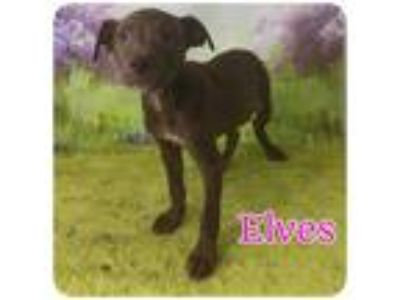 Adopt Elves a Brown/Chocolate - with White Pit Bull Terrier / Mixed Breed