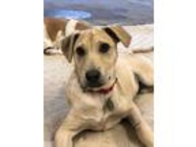 Adopt Thomas a Tan/Yellow/Fawn - with White Labrador Retriever / Mixed dog in