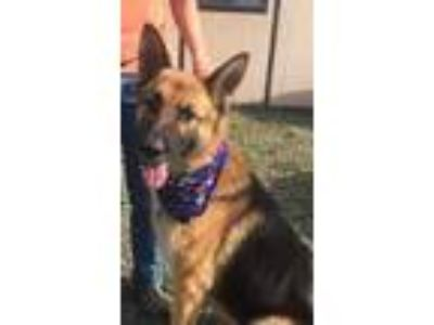 Adopt LUDWIG a German Shepherd Dog