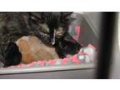 Adopt Ida a All Black Domestic Shorthair / Domestic Shorthair / Mixed cat in