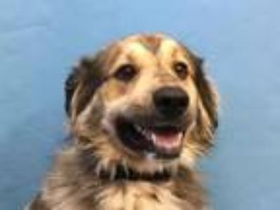 Adopt Ghost a Great Pyrenees, Siberian Husky