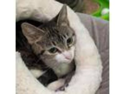 Adopt Millie Meow a Domestic Shorthair / Mixed cat in Austin, TX (22859925)