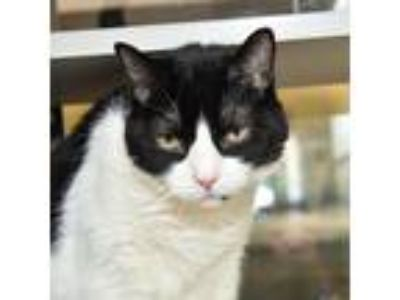 Adopt Purrlin-- Bonded Buddies With Miss Kitty a Domestic Shorthair / Mixed cat