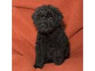 Adopt Cole a Black Shih Tzu / Mixed dog in Troy, OH (25364455)