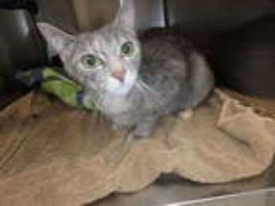 Adopt *LENORA a Gray or Blue Domestic Shorthair / Mixed (short coat) cat in