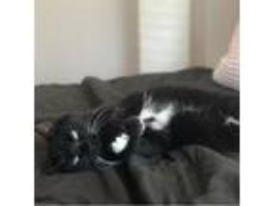 Adopt Mary Jane a Black & White or Tuxedo Domestic Shorthair cat in Somerville