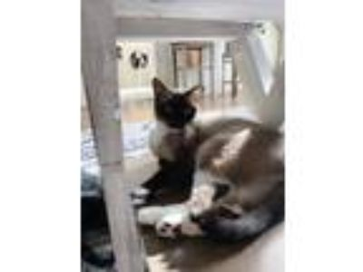 Adopt Socks a Brown or Chocolate (Mostly) Siamese cat in Woburn, MA (25197675)
