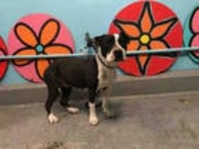 Adopt DEVINE a White - with Black American Pit Bull Terrier / Mixed dog in
