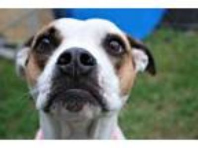 Adopt Tula a White American Pit Bull Terrier / Mixed dog in Newton
