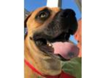 Adopt Chantel a Tan/Yellow/Fawn Mastiff / Mixed dog in Loxahatchee