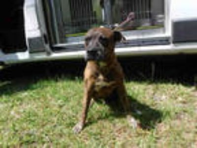 Adopt MUNCHI a Brindle - with White Boxer / Mixed dog in Doral, FL (25351728)