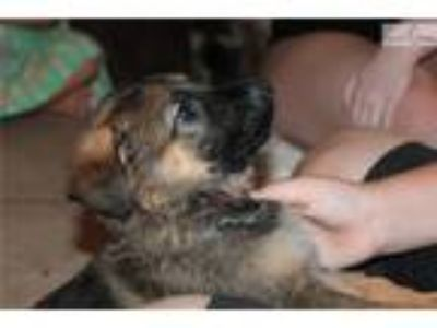 German Shepherd Puppies AKC 8 Weeks Old