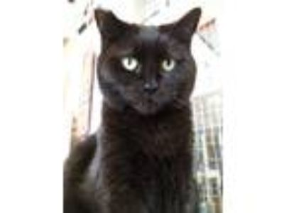 Adopt Noel a Domestic Short Hair